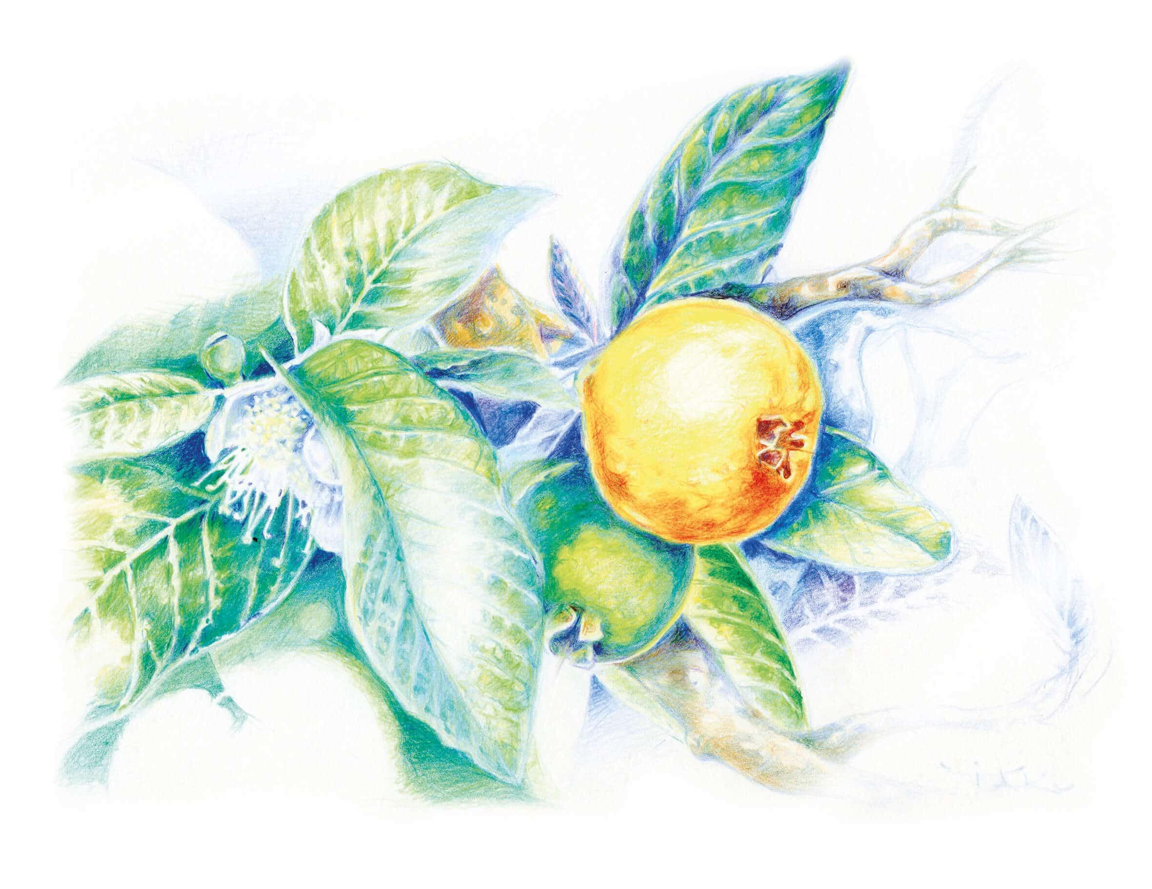Guaven-Extrakt